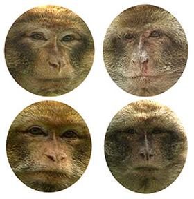 Discriminazione di volti di scimmia