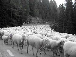 Il conformismo rappresentato da un gregge di pecore che seguono la stessa direzione